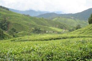 Image result for Tea Plantation 300 x 200