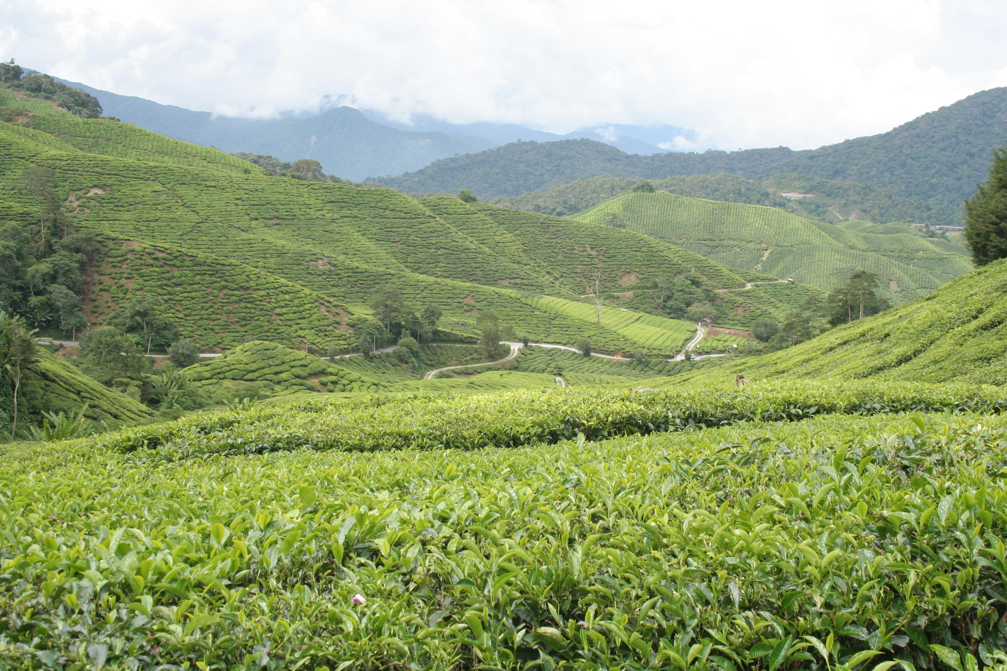 Boh Tea Plantation Fields in Cameron Highlands, Malaysia