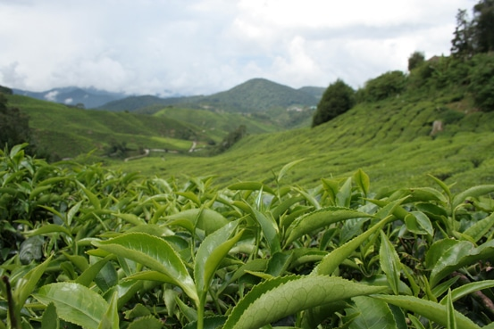 Camellia sinensis: The Tea Plant