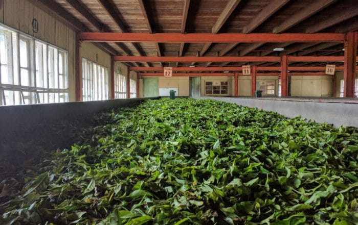 Tea Leaves Withering in Sri Lanka Feature Image
