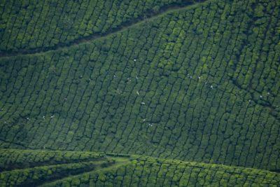 Tea Varieties and Cultivars Feature Image
