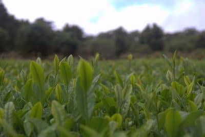 Tea Harvest Dates Feature Image