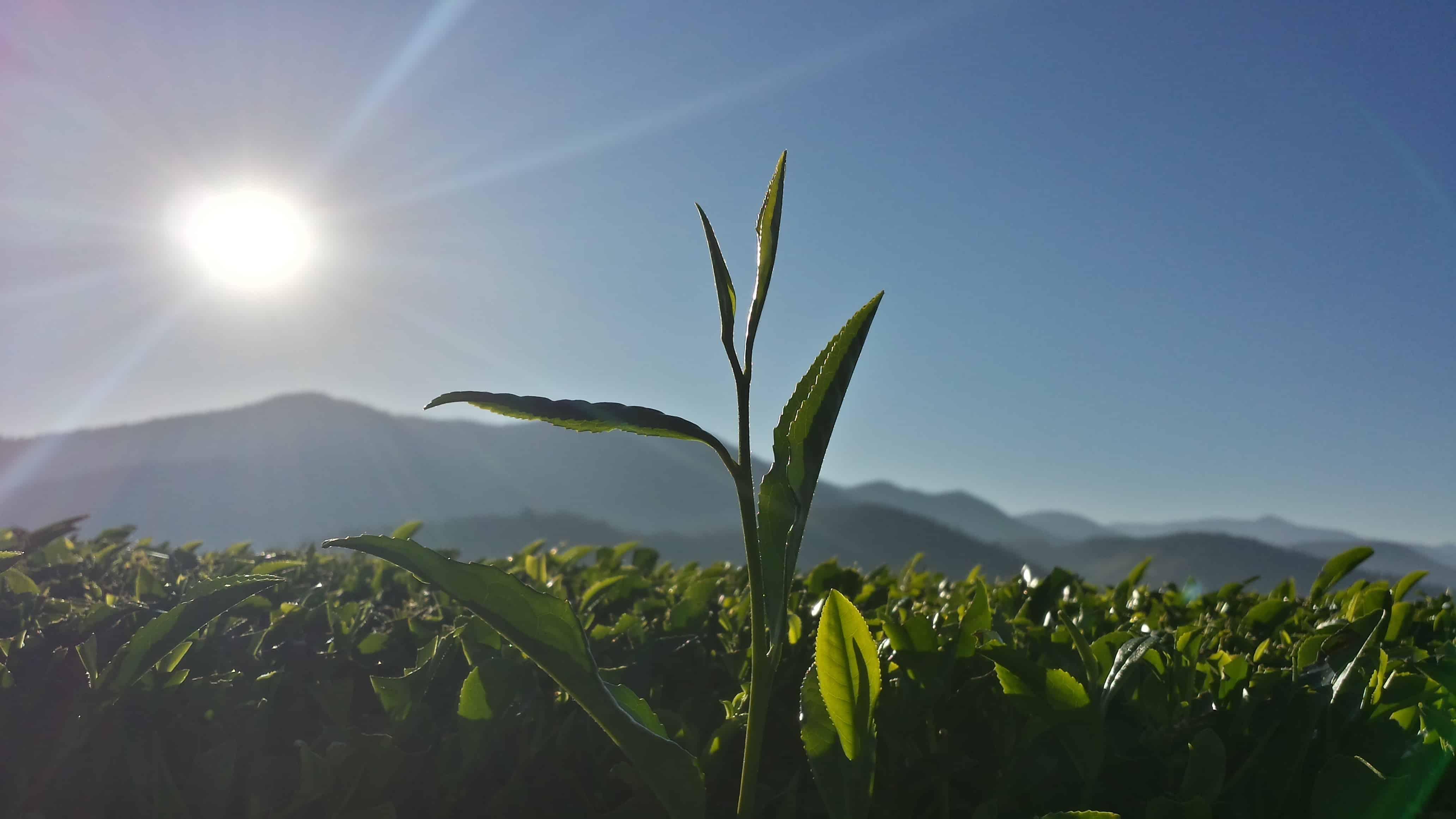 tea buds in Australia