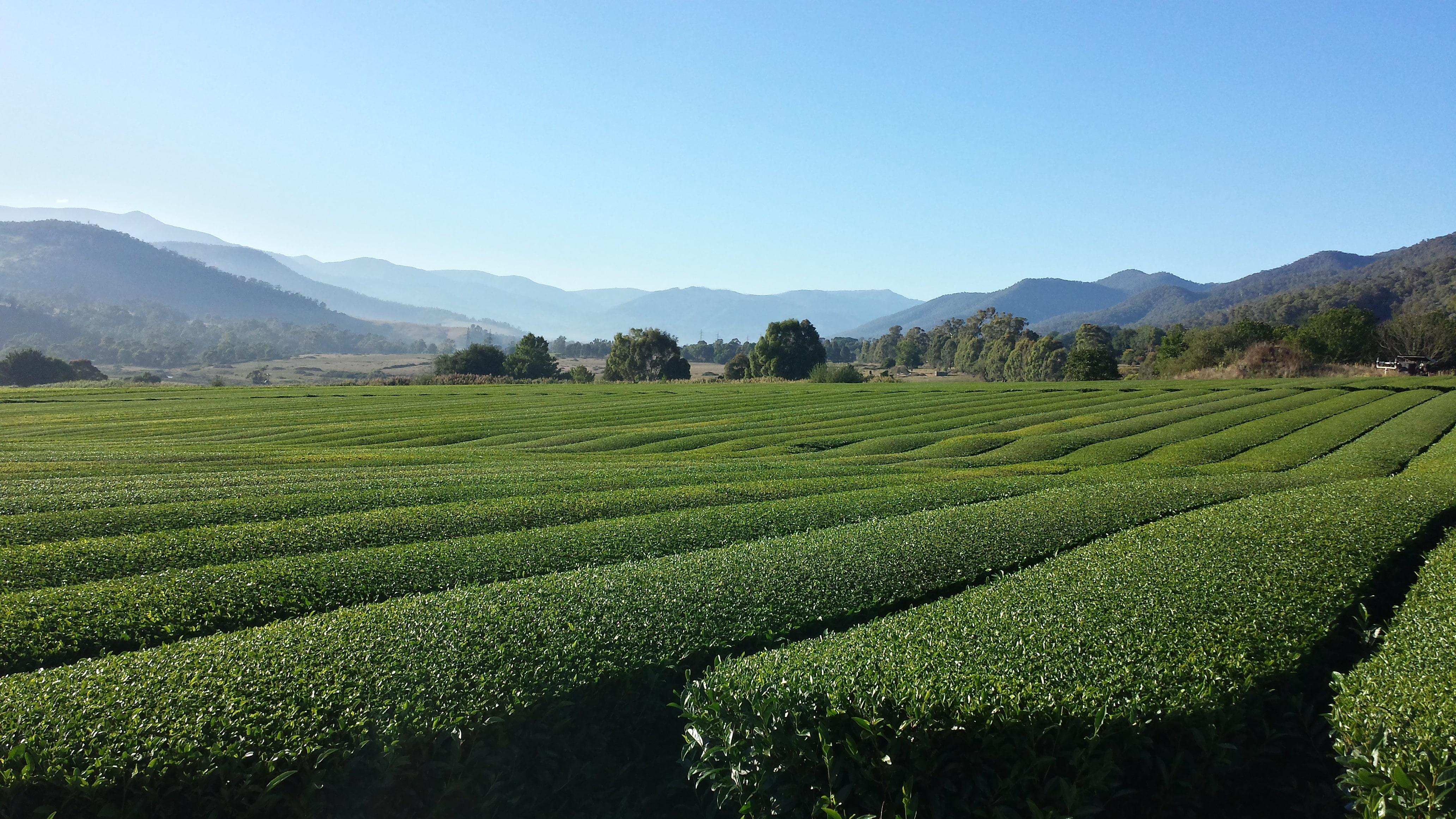 tea growing in victoria australia