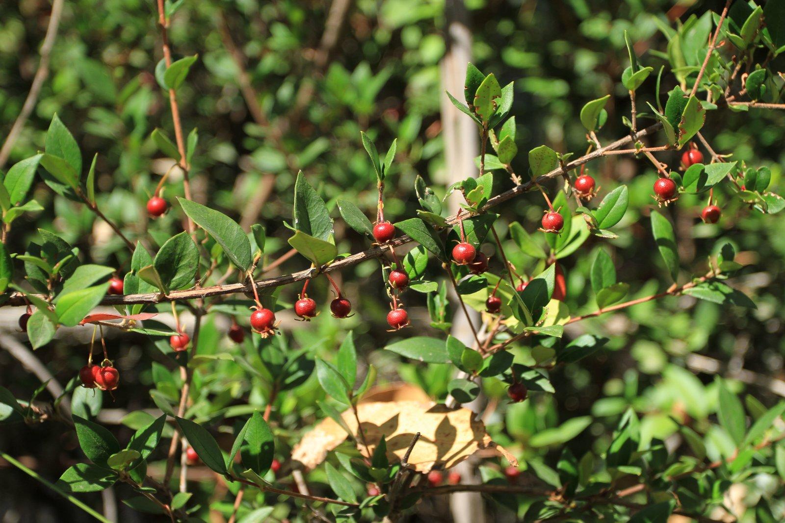 Murta berries in the wild from Rishi sourcing trip. Credit: Rishi