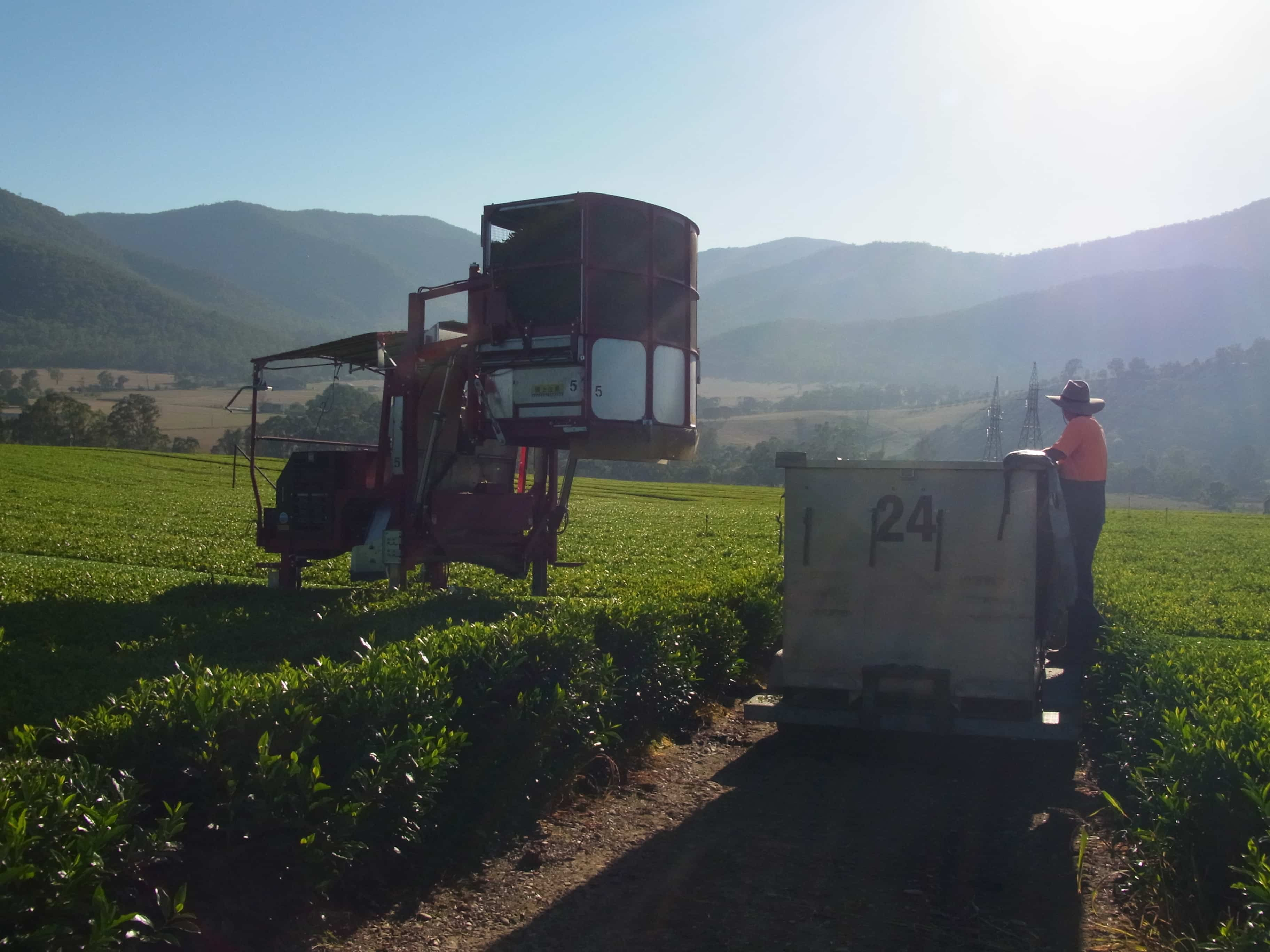 emptying the tea harvester