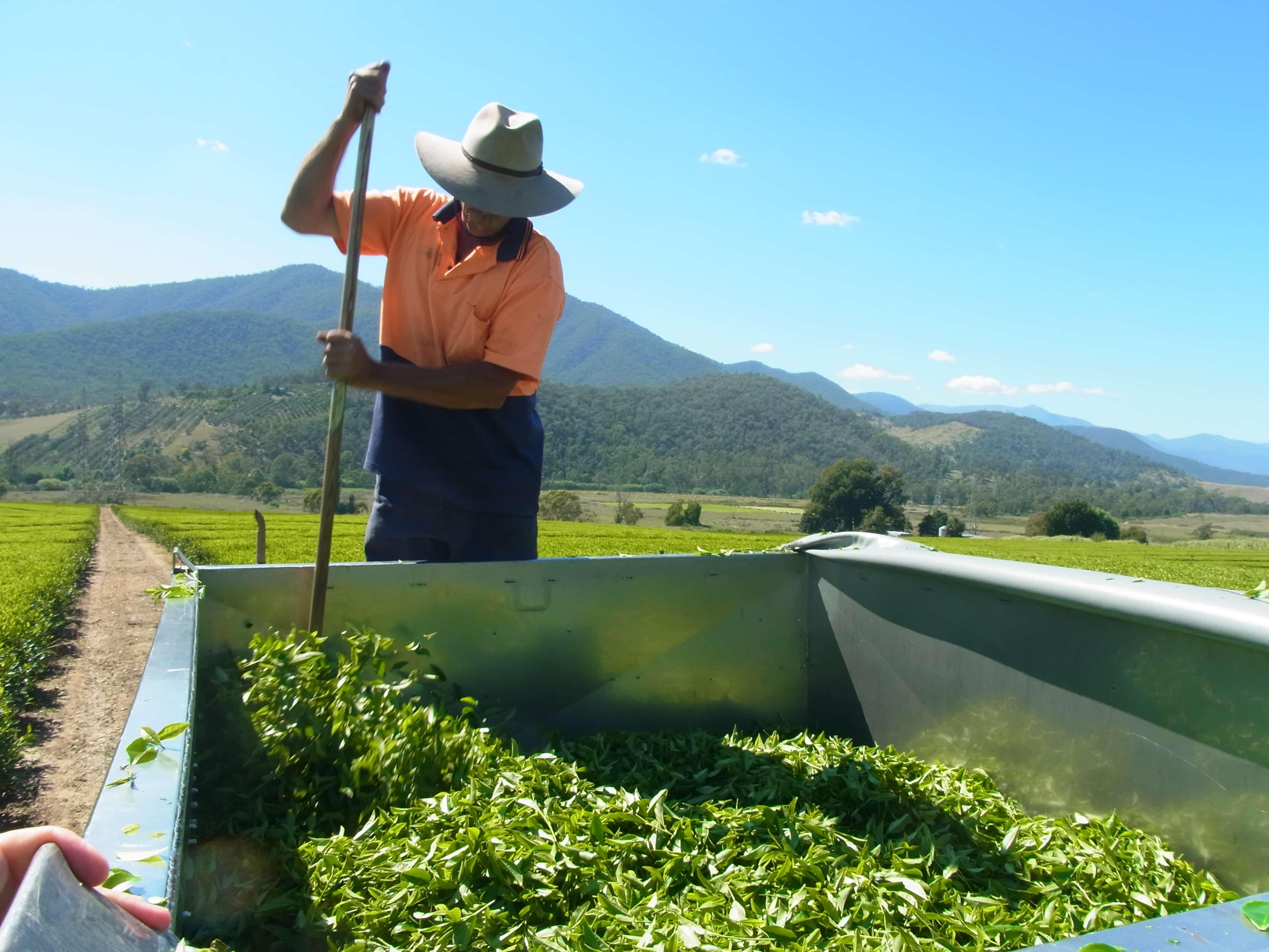 george tending to the tea leaves