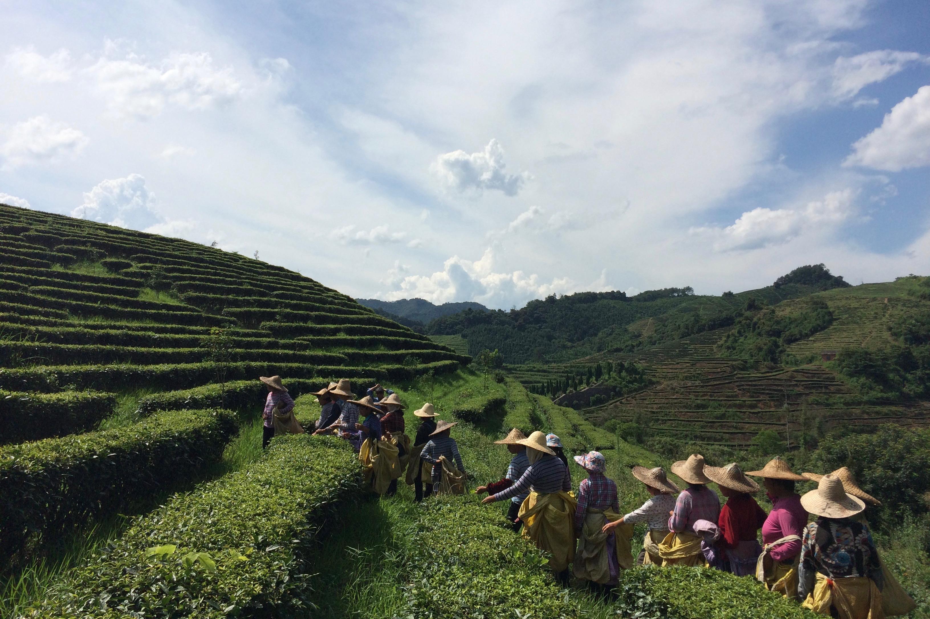 Shanfu Tea Company in Shaxian, Fujian Province, China