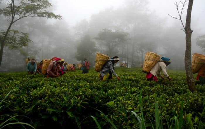 Workers in the foggy tea garden