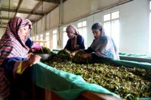 Tea Processing Line