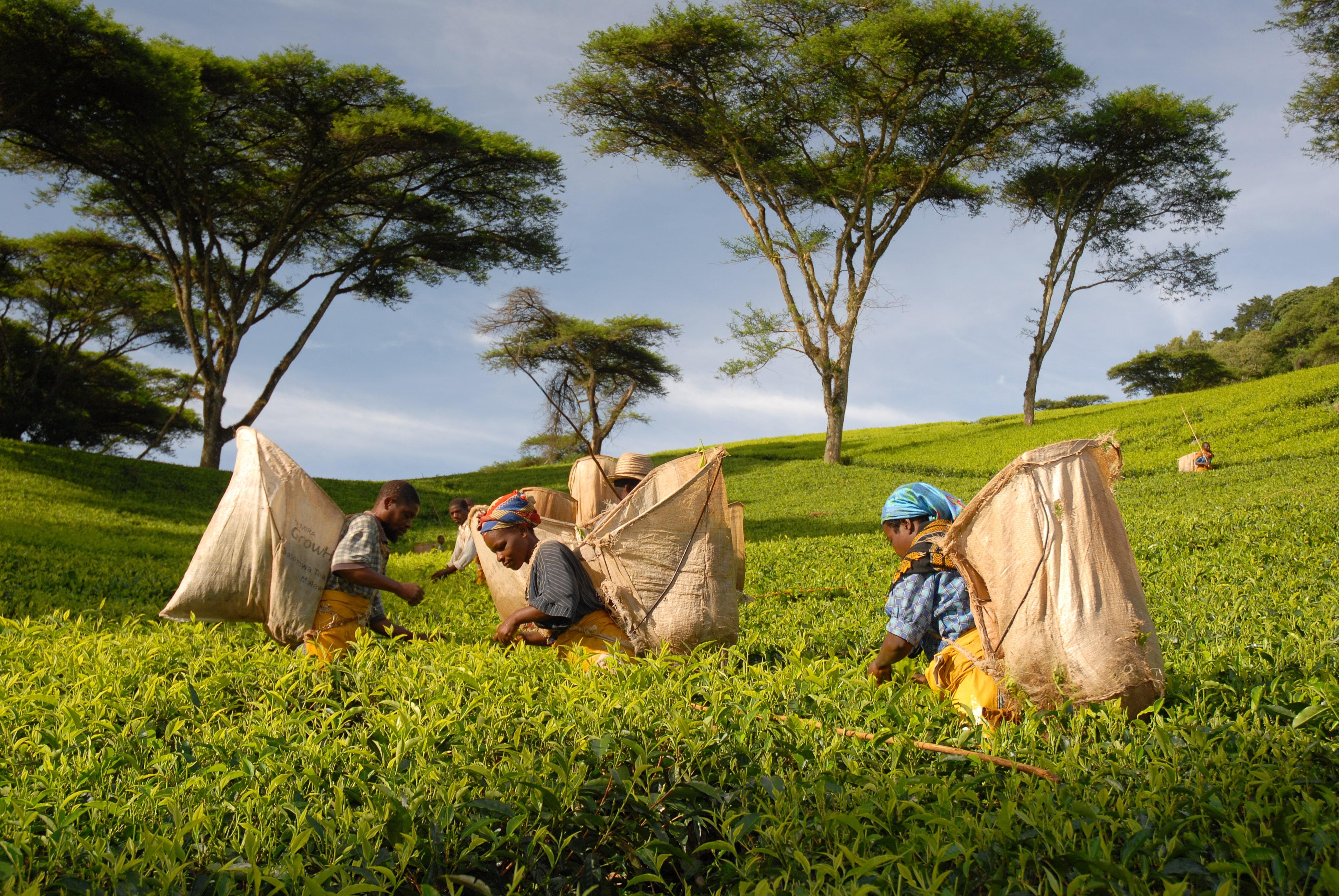 Malawi Tea Farming